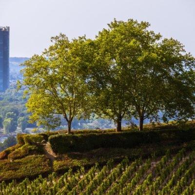 Blick auf Bonn hinter Weinreben